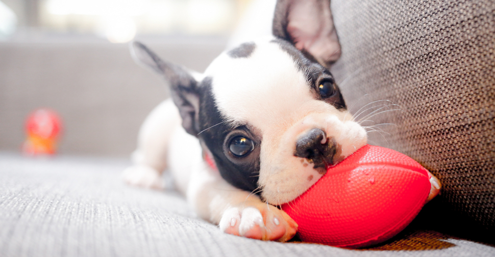 French Bulldog puppy playing with a toy on a couch