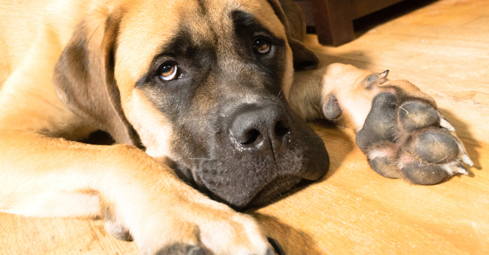 Close up of blonde Mastiff large dog breed lying on wood floor with paw stretch out forward.
