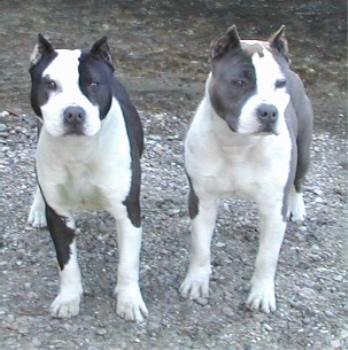 Two American Staffordshire Terriers are standing on rocks that are waterside.