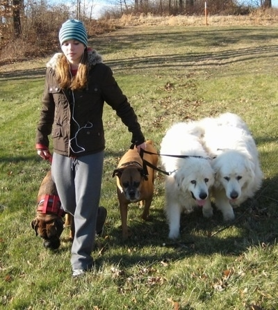 A blonde-haired girl is leading a pack walk with 4 dogs heeling next to her in a field.