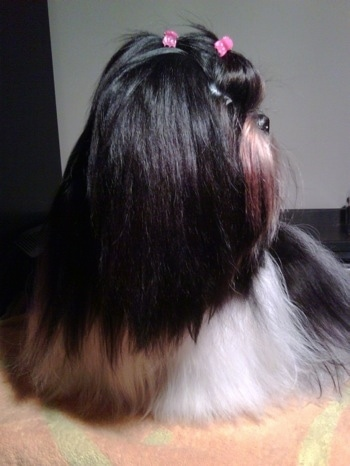 Close up front view with the dogs head facing the right - A well groomed long coated, black with white and brown Shih-Tzu is standing on a towel, it has two pink ribbons in its hair.