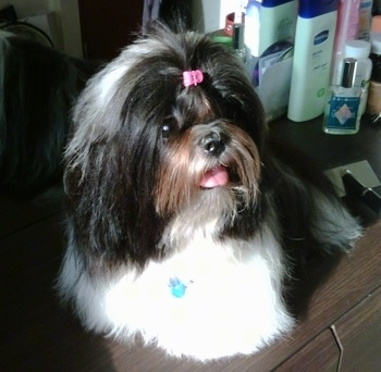 Close up - A longhaired, nicely groomed, black with white and brown Shih-Tzu is sitting on a dresser, it has a pink ribbon in its hair, it is looking to the right, its mouth is open and its tongue is out.