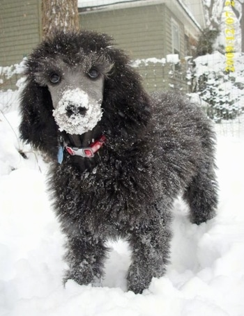 Close up front view - A black Standard Poodle puppy is standing in snow and it has snow all over it. The dog has a thick curly coat with a shaved snout.