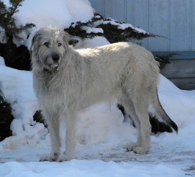 A tan with grey Irish Wolfhound is standing in snow with a snow covered tree behind it.
