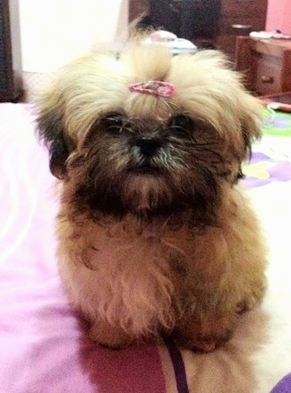 Close up front view - A fuzzy tan with black Shih Tzu is standing on a bed, it has a pink ribbon in its hair and it is looking forward.