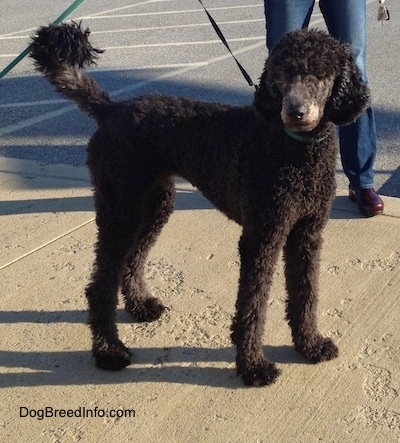 The right side of a thick curly coated, black Standard Poodle dog standing across a concrete surface looking forward.
