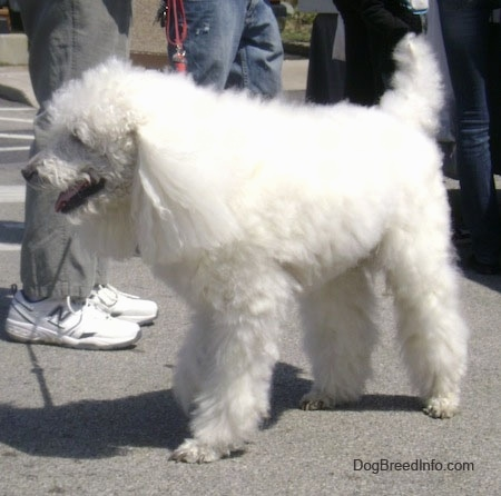 The front left side of a long, thick-coated, white Standard Poodle dog standing across a black top surface. Its mouth is open and it looks like it is smiling.