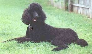 The left side of a black Standard Poodle dog laying in grass looking forward. Its mouth is open and it is looks like it is smiling. There is a wooden privacy fence behind it.