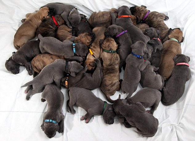Group hug: The 27 puppies were born in the space on three days