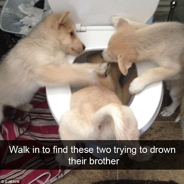 DJM30W joked that he had found his three Siberian husky puppies trying to