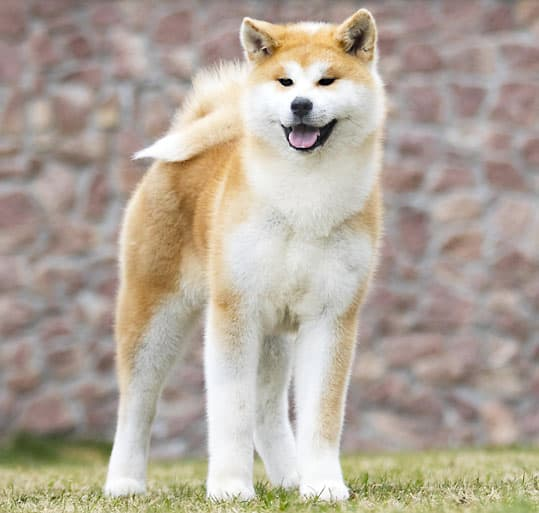 beautiful japanese akita dog breed