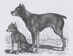 Drawing of a pinscher and a miniature pinscher by Jean Bungartz