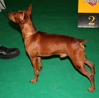 Miniature Pinscher at conformation show, with natural erect ears and docked tail