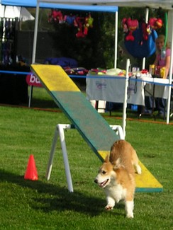 Pembroke leaving teeter-totter during a dog agility competition.