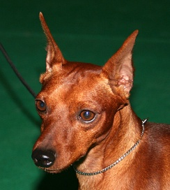 Miniature Pinscher with cropped ears