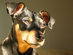 Miniature Pinscher with uncropped ears