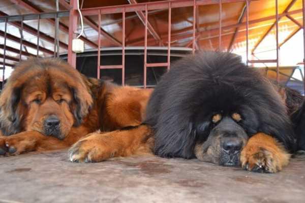 тибетский мастиф маленький фото
