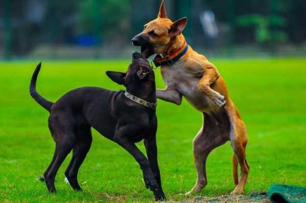 бойцовские собаки породы с фотографиями