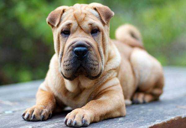 сторожевая собака средних размеров